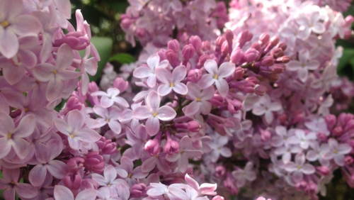 Minneapolis lilacs blooming in the spring